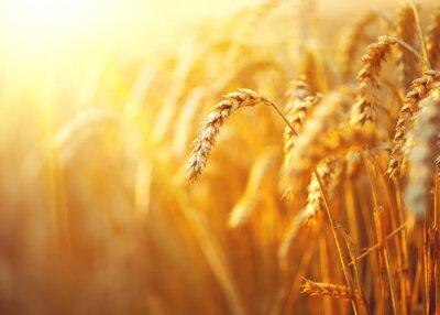 Canvas print Wheat field. Ears of golden wheat closeup. Rural scenery under shining sunlight