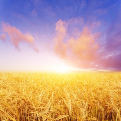 Canvas print wheat field in summer day in new zealand
