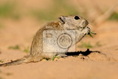 Canvas print Whistling rat (Parotomys brantsii), Kalahari, South Africa