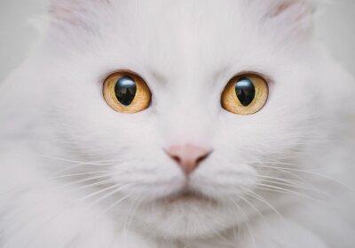 Canvas print White cat