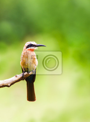 Canvas print White fronted bee eater bird perched on a branch