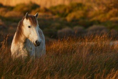 Canvas print White horse of Camargue