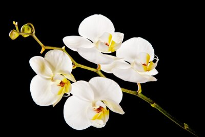 Canvas print White orchid with yellow center