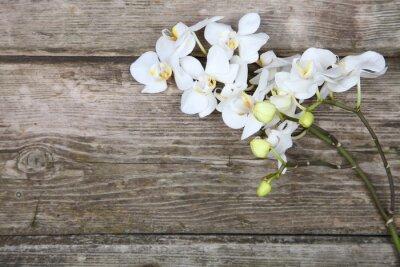 Canvas print White orchid(Phalaenopsis)