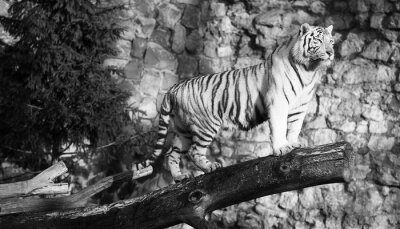 Canvas print White tiger standing on a log over a gap (in black and white, vintage style)