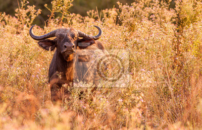 Wild African Cape buffalo in the long grass