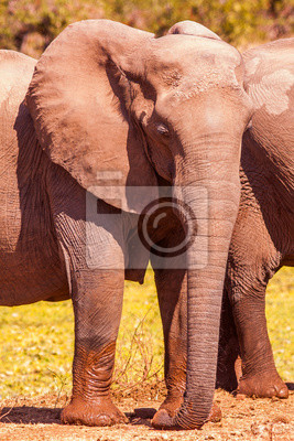 Canvas print Wild African Elephant