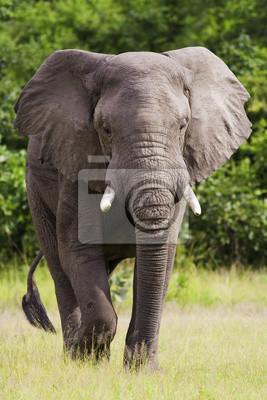 Canvas print Wild African Elephant