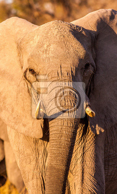 Canvas print Wild African Elephant close up
