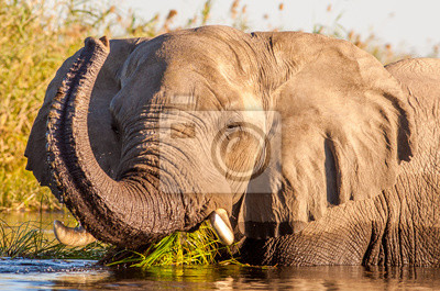 Canvas print Wild African Elephant in the water
