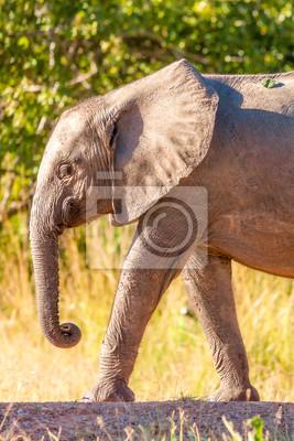 Canvas print Wild African elephant walking
