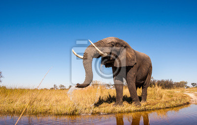 Canvas print Wild African Elephant with a Blue Sky