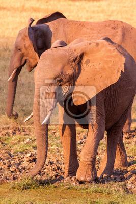 Wild African elephants at the waterhole