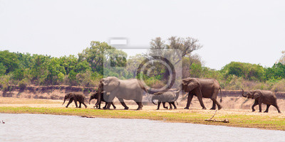 Canvas print Wild African elephants heading to the water