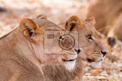 Wild African Lions