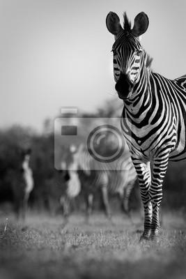 Wild African zebra in the wild