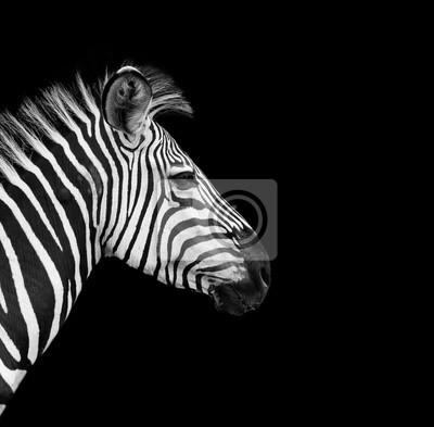 Wild African Zebra with a black background