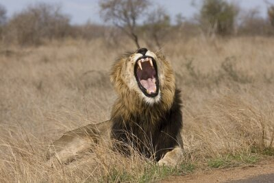 Canvas print wild male lion yawning in the bush