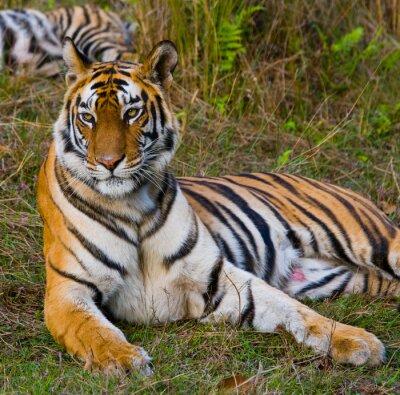Canvas print Wild tiger lying on the grass. India. Bandhavgarh National Park. Madhya Pradesh. An excellent illustration.