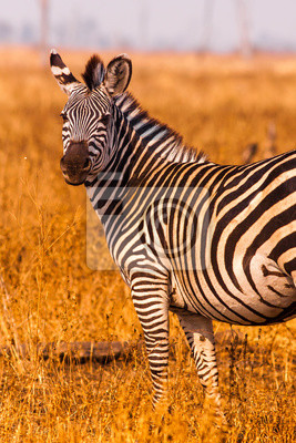 Wild Zebra looking at the camera