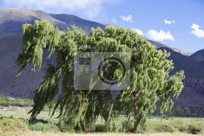Winds blowing green tree with Andean mountain, Argentina