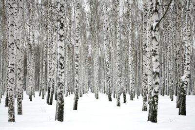 Canvas print Winter birch forest
