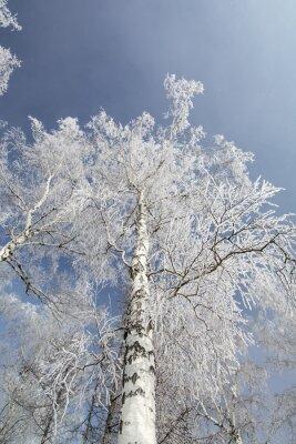 Canvas print Winter birch trees forest