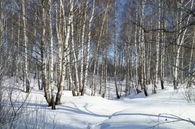 Canvas print Winter landscape with white birch