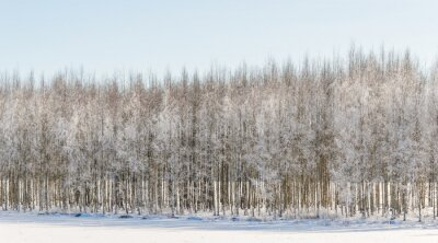 Canvas print Wintry birch trees in Finland