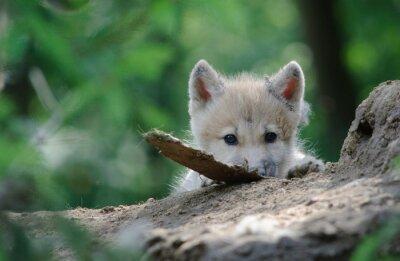 Canvas print wolf cub