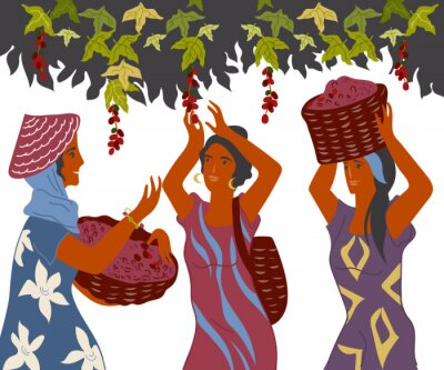 Canvas print Women with basket pick coffee beans from the bush on plantation, image for cafe and packaging. Coffee harvest gatherers in work flat cartoon vector illustration isolated on white background.