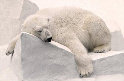 Canvas print Белый медведь спит.