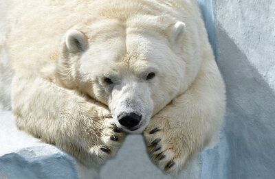Canvas print Белый медведь.