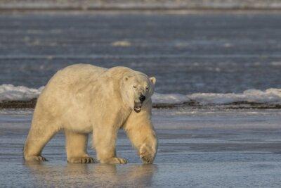 Canvas print Yawning Polar Bear walking on ice