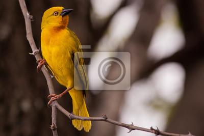 Canvas print Yellow Weaver