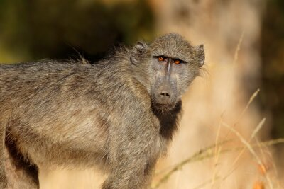 Young chacma baboon (Papio ursinus), Kruger National Park, South Africa.
