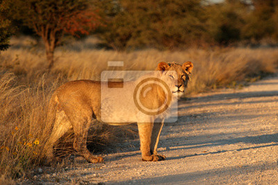 Young male African lion (Panthera leo) in late afternoon light, South Africa.