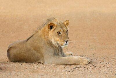 Young male African lion (Panthera leo), Kalahari desert, South Africa.