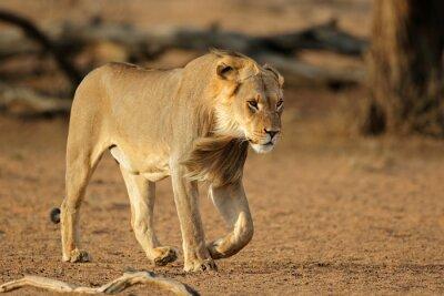 Young male African lion (Panthera leo) walking, Kalahari desert, South Africa.
