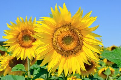 Canvas print Young sunflowers bloom in field against a blue sky