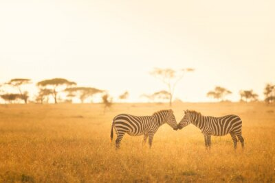 Canvas print Zebra Love in the Serengeti