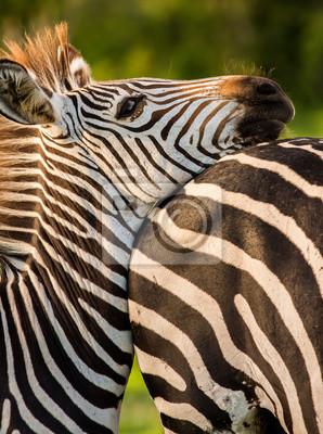 Zebra resting its head