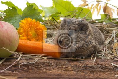 a cute baby of guinea pig close up