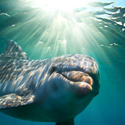 Wall mural A dolphin underwater with sunbeams. Closeup portrait