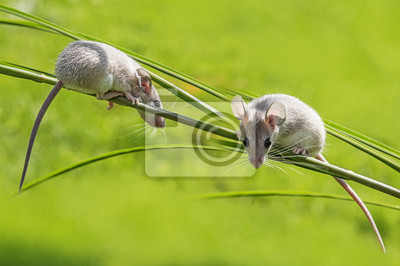 a little mouse sitting on a grass (acomys cahirinus)