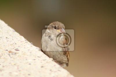 A sparrow females