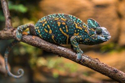 Wall mural A veiled chameleon lizard