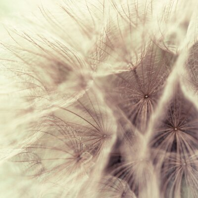 Wall mural Abstract closeup of a meadow salsify