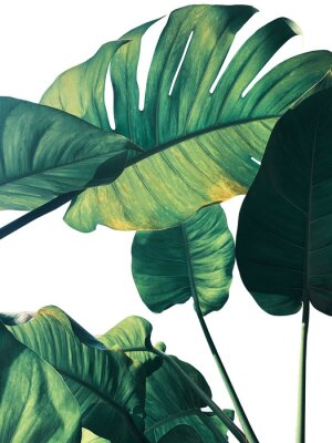 Wall mural Abstract tropical green leaves pattern on white background, lush foliage of giant golden pothos or Devil's ivy (Epipremnum aureum) the tropic plant..