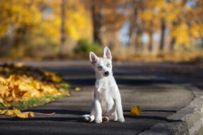 Wall mural adorable siberian husky puppy sitting outdoors in autumn